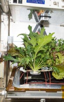 Rostliny pěstované na ISS.