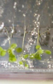 Studium růstu kořenů huseníku rolního v mikrogravitaci.