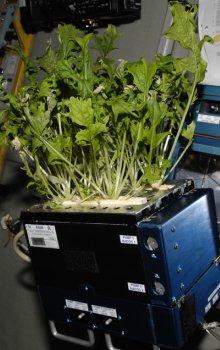 Experiment s kultivací japonské odrůdy salátu prostřednictvím různých metod hnojení na ISS.